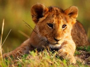 Житель Абхазии спас львенка