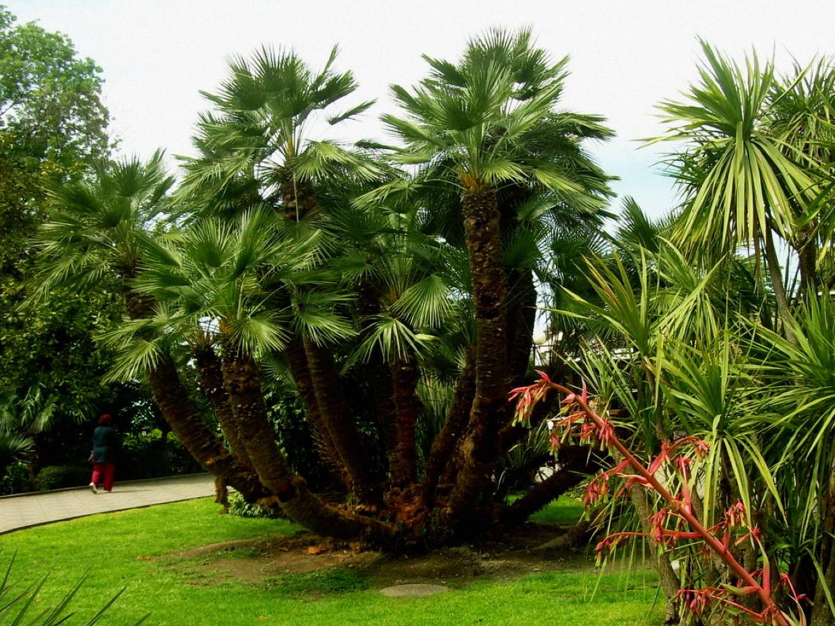 Зачем в Сочи пальмам делают прививки?